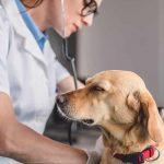 Виды грыж у собак, причины её появления и симптомы заболевания