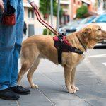 Дрессировка собак для слепых и плохо видящих