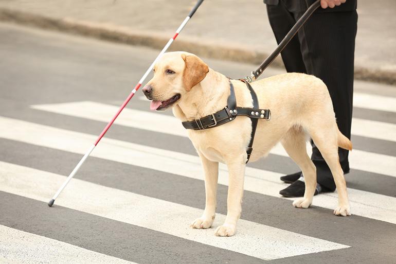 Собака помогает плохо видящим и слепым людям