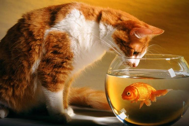 Кошка и золотая рыбка