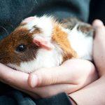 Власоеды у морских свинок: симптомы и лечение