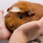 Причины, диагностика и лечение грибка у морских свинок
