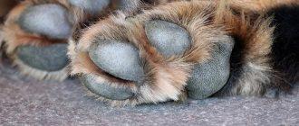 Мозоли на подушечках лап у собак