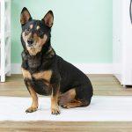 Как приучить собаку ходить в туалет на пелёнку?