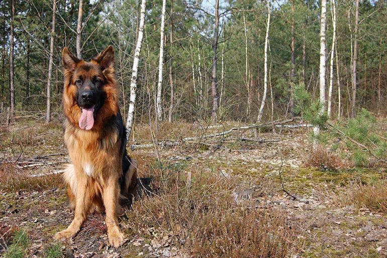 Собака среди берёз
