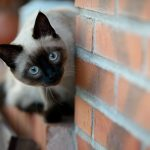 Содержание сиамской кошки