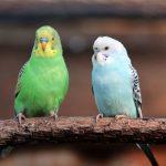 Симптомы и лечение клеща у волнистого попугая