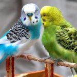 Воспаление зоба у волнистого попугая