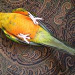 Как распознать первые признаки недомогания попугая