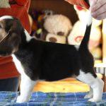 Как подготовить щенка к первой выставке
