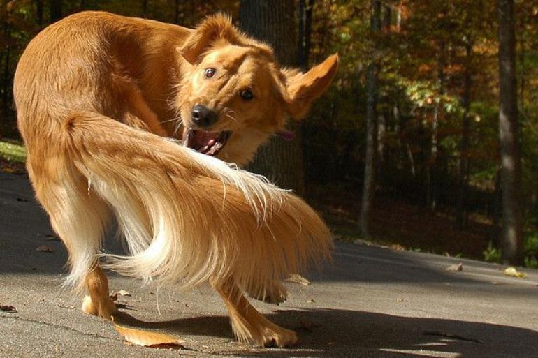Пёс гоняется за хвостом