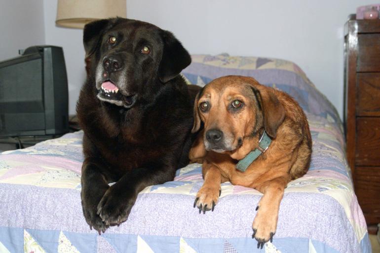 Пара псов рядом