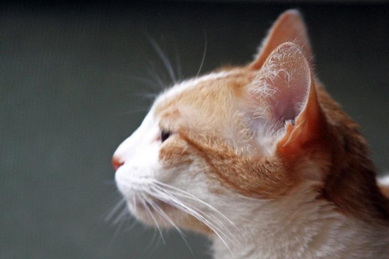 Кошка и уши