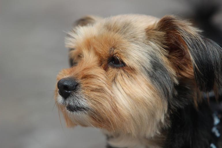 Расчёсанный пёс