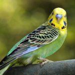 Как правильно составить рацион для волнистых попугаев?