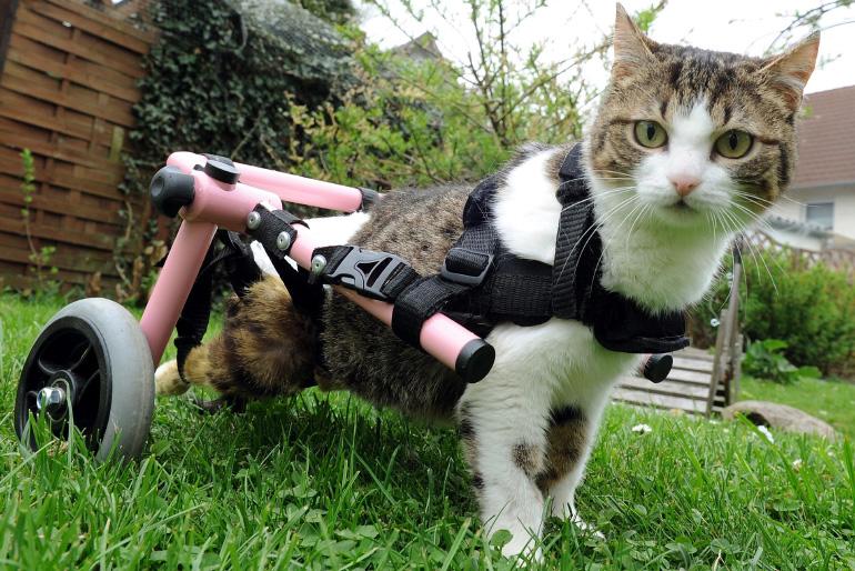 Кошка с инвалидной тележкой