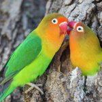 Содержание домашних попугаев-неразлучников