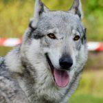 Волкособ: что за порода и как содержать его дома