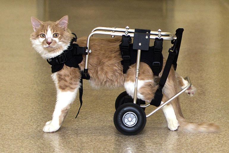 Инвалидность у кошки