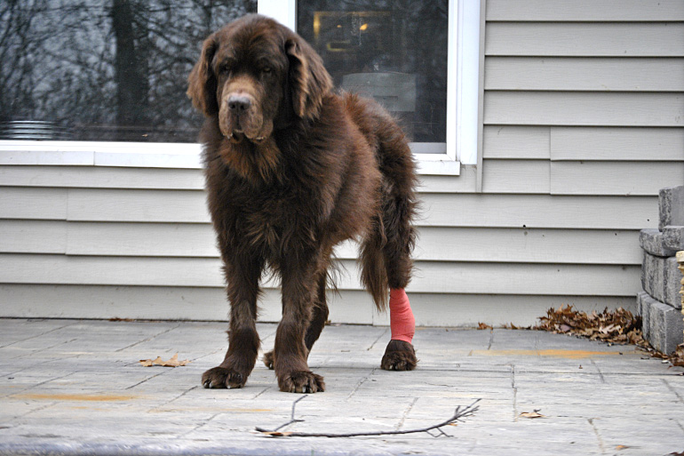 Собака с забинтованной лапой