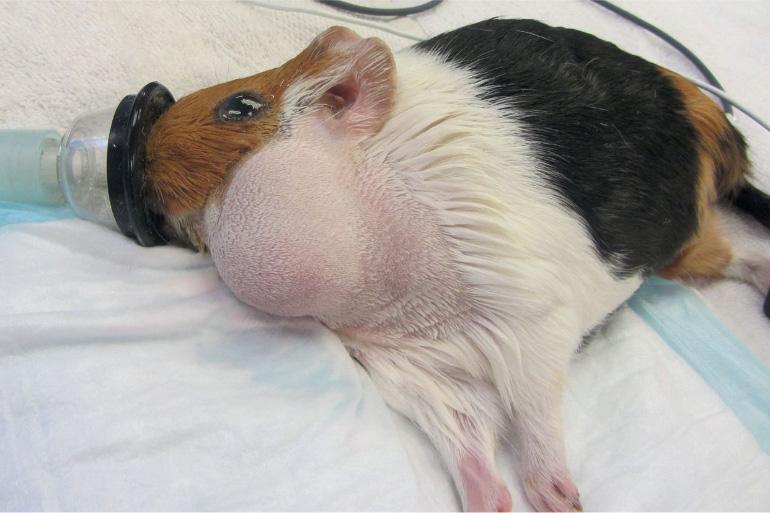 Абсцесс у морской свинки