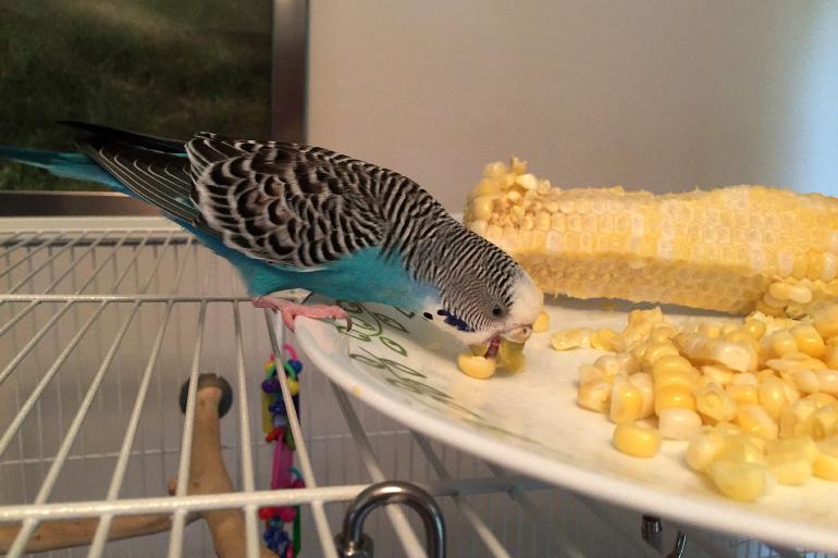 Попугай ест кукурузу