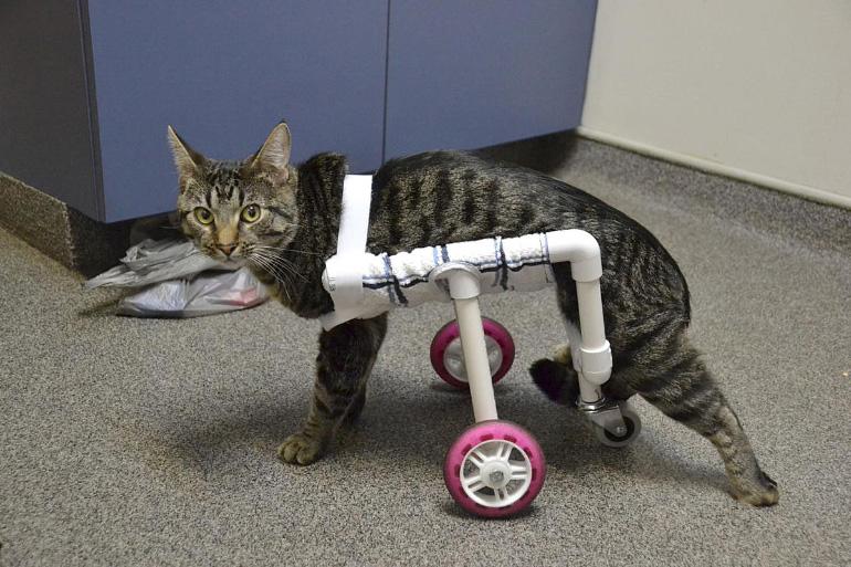 Кот на инвалидной тележке