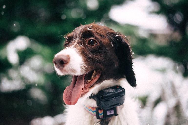 Электрический ошейник на собаке