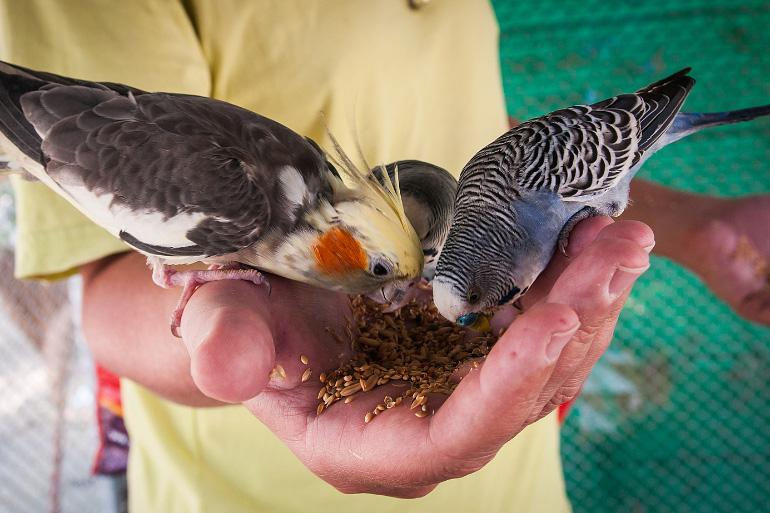 Попугаи едят с рук