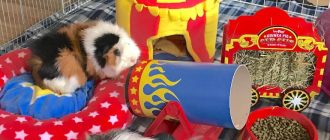 Морская свинка и игрушки для неё