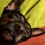 Чумка у собак, причины появления, симптомы и лечение