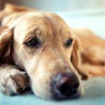 Пояснично-крестцовый стеноз у собак, виды заболевания, лечение