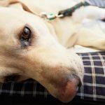 Пересадка донорской почки собаке – миф или реальность?