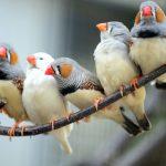 Амадины – содержание и уход в домашних условиях