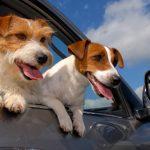 Что делать если собаку укачивает