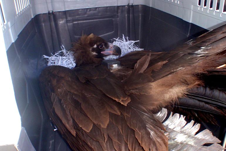 Повреждённое крыло у птицы
