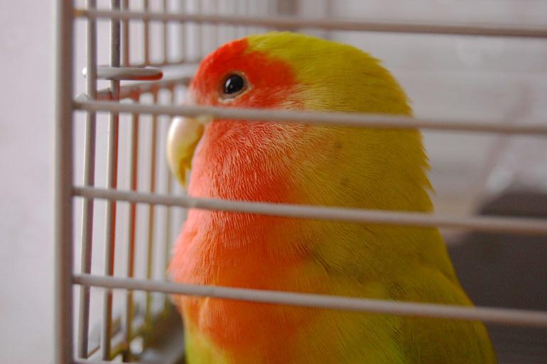 Попугай неразлучник в клетке