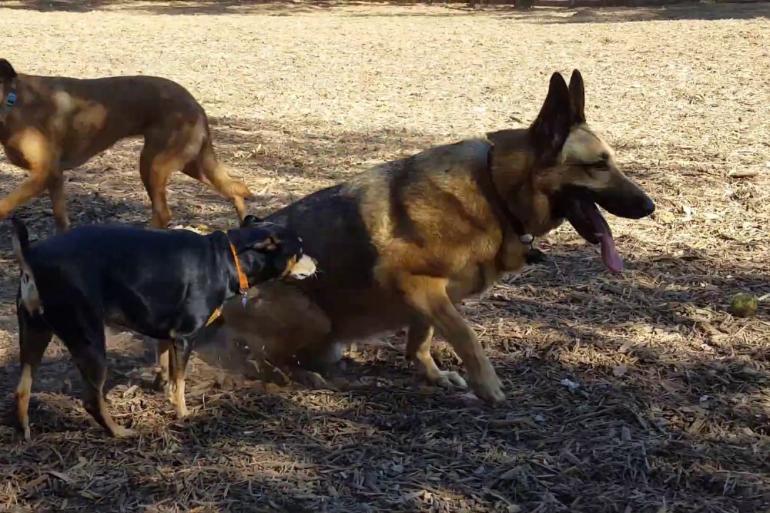 Пояснично-крестцовый стеноз у собаки