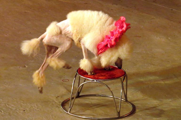 Собака выступает в цирке