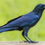 Содержание и дрессировка ворона