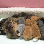 Причины лактостаза у кошек