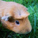 Глазные заболевания у морских свинок, виды, симптомы и лечение