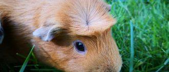 Зрение морской свинки