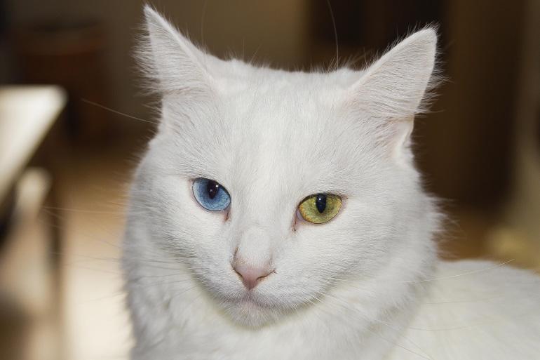 Ангора с гетерохромией
