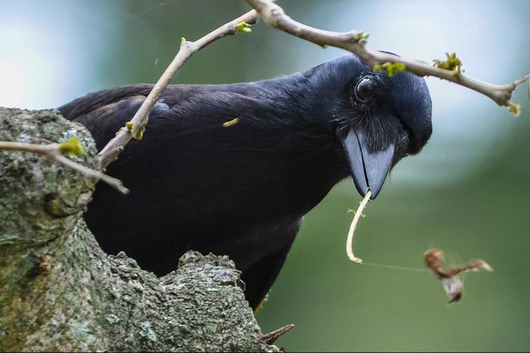 Ворон строит гнездо