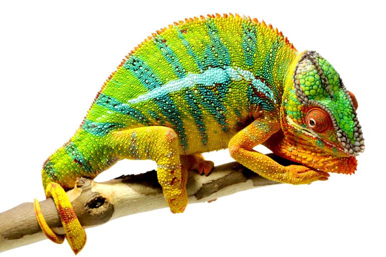Яркий хамелеон