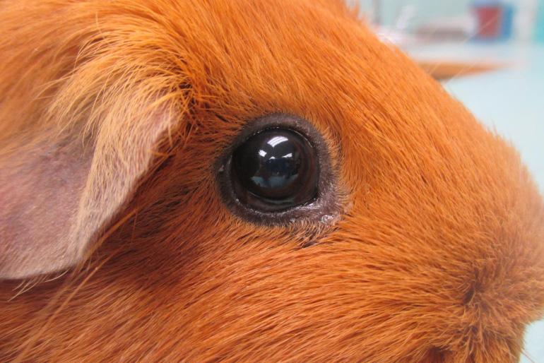 Глазные болезни морской свинки