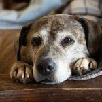 Гепатоэнцефалопатия у собак: диагностика, лечение и профилактика