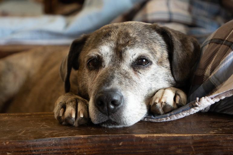 Старый пёс