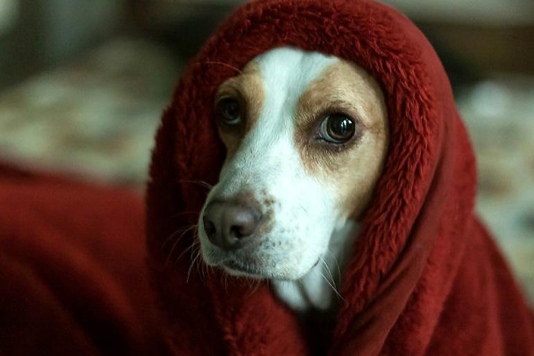 Пёс укутался от страха